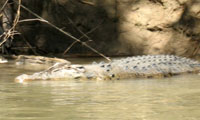 See Crocodiles on the Daly River